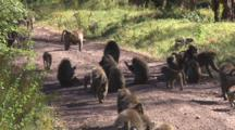 Olive Baboon Troop Moves Down The Road