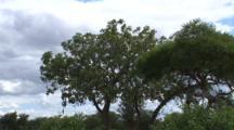 Sausage Tree