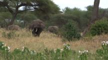 Elephant Herd Graze Near Hibiscus Plants