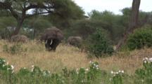 Elephant Herd Graze Near Hibiscus Plants
