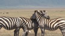 Zebras Position Themselves To Look For Danger While Resting