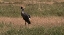 Grey Crowned Crane, In The Grasslands