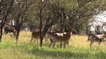Hartebeest In The Woodlands