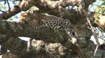 Leopard Lies On A Tree Limb Satiated After Eating His Kill