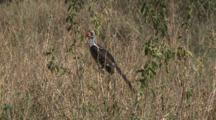 Von Der Decken's Hornbill In Tall Grass And Then Flies Away