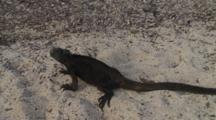 Galapagos Marine Iguana Crawling On The Sand 2 Of 5