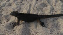 Galapagos Marine Iguana Crawling On The Sand 3 Of 5
