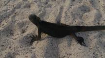 Galapagos Marine Iguana Crawling On The Sand 4 Of 5