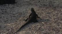 Galapagos Marine Iguana Crawling On The Sand 5 Of 5