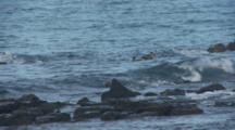 Galapagos Brown Pelicans Diving 1 Of 2