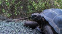 Galapagos Giant Tortoise In The Highlands Eating And Walking Away 1 Of 3