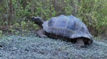 Galapagos Giant Tortoise In The Highlands Eating And Walking Away 2 Of 3