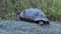 Galapagos Giant Tortoise In The Highlands Eating And Walking Away 3 Of 3