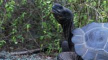 Galapagos Giant Tortoise In The Highlands Head Shots 1 Of 2