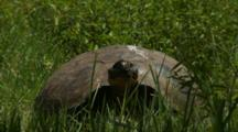 Galapagos Giant Tortoise In Grasslands (Good Sun)