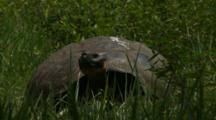 Galapagos Giant Tortoise In Grasslands