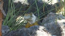 A Beautiful Male Land Iguana On Plazas Sur Island 1 Of 7