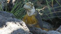 A Beautiful Male Land Iguana On Plazas Sur Island 3 Of 7