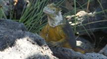A Beautiful Male Land Iguana On Plazas Sur Island 4 Of 7