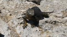 A Female Land Iguana On Plazas Sur Island Seeks The Shade 3 0f 7