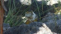 A Beautiful Male Land Iguana On Plazas Sur Island #9