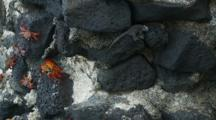 Sally Lightfoot Crabs And A Lava Lizard On A Lava Rock Wall