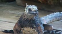 Galapagos Marine Iguana Looks Around 1 Of 2