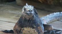 Galapagos Marine Iguana Looks Around 2 Of 2