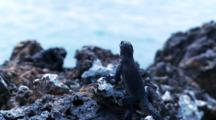 Galapagos Marine Iguana On Lava Rocks #2