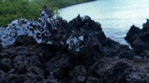 Galapagos Marine Iguanas On Lava Rocks Scrambling Around #5
