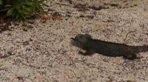 Galapagos Marine Iguana Crawls On Sand And Turns Towards Viewer