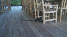 Galapagos Marine Iguana Crawls Under The Chairs In A Restaurant
