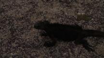 Galapagos Marine Iguana On Sand
