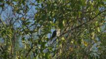Galapagos Mockingbird Preens In A Tree