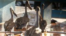 Galapagos Brown Pelicans And A Galapagos Sea Lion At A Fish Market