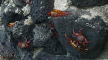 Galapagos Sallylight Crabs On A Lava Rock Wall