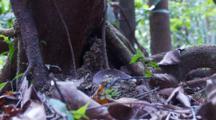 Nest Of Bullet Ants