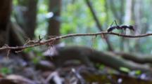 Bullet Ant On A Twig