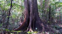Pan Upward Of A Ficus Tree In The Rainforest And The Canopy