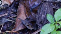 Leaf Toad Hidden On A Leaf