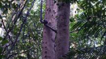 Pygmy Marmoset Eats Sap From A Tree