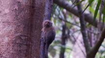 Pygmy Marmoset Pauses And Looks Around