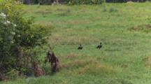 Horned Screamers And Chicks In An Open Area