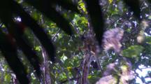 Spider Monkey Seen In The Treetops