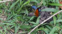 Two Butterflies And Beetles On Dung