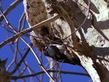 Woodpecker Pecking Tree