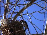Woodpecker Stock Footage