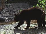 Black Bear Drinks At Stream