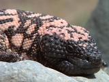 Gila Monster Close-Up