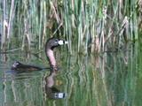 Grebe (Possibly Pied-Billed) Swims, Dives
